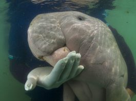 Marium the dugong from Thailand died of plastic waste